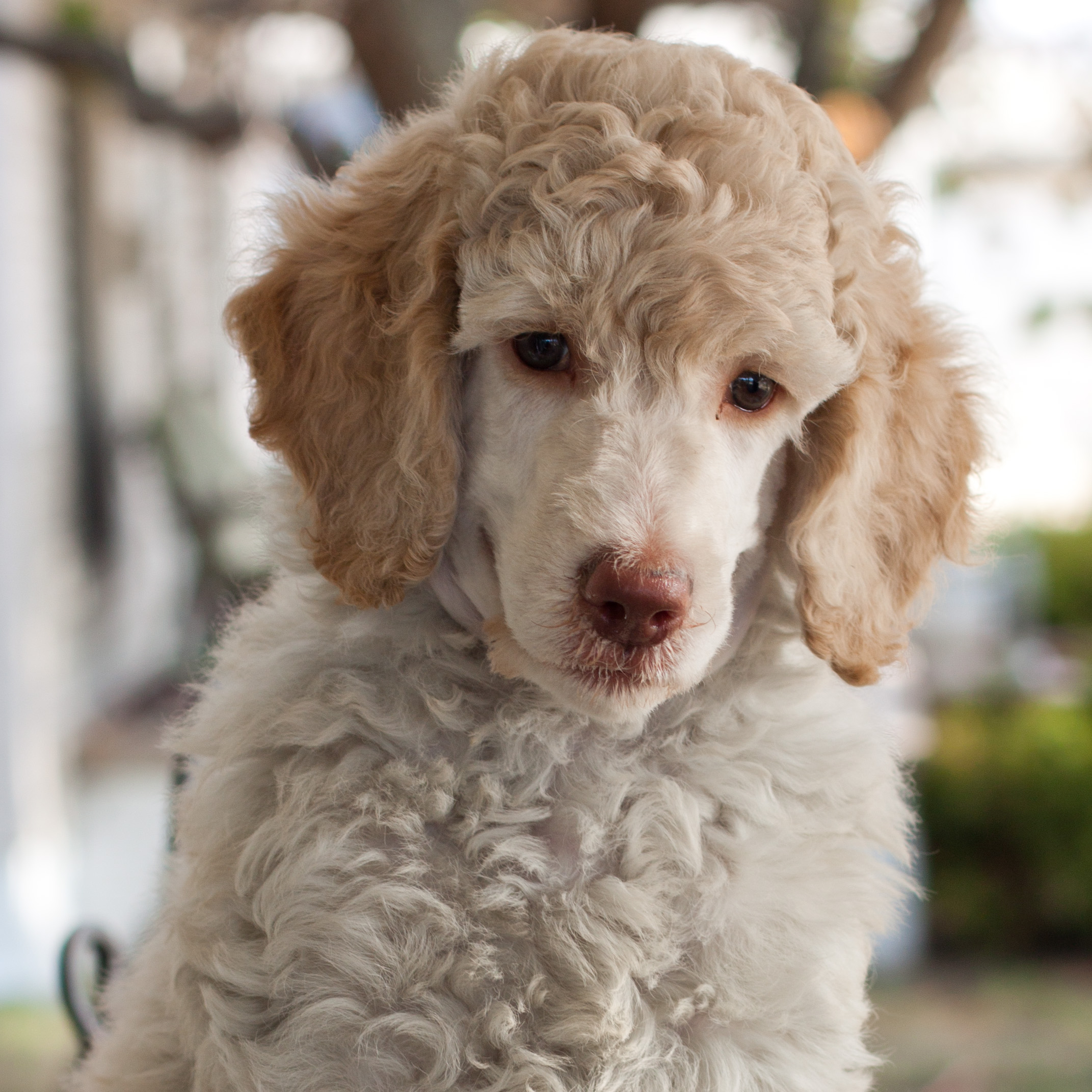 First Haircut – Walnut Valley Standard Poodles